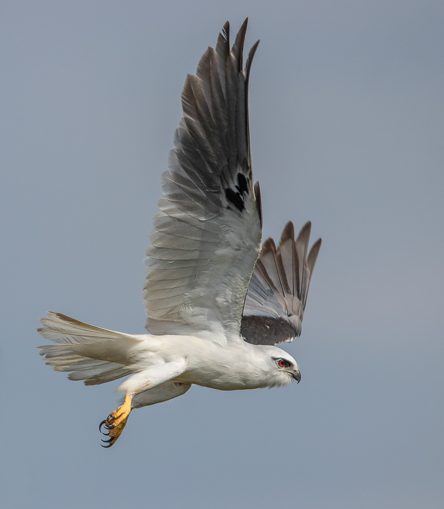 Black-shouldered Kite (Image ID 32301)