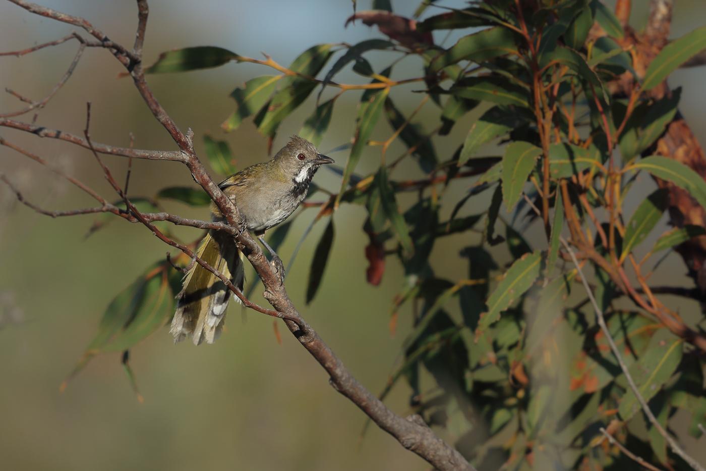 Western Whipbird (Image ID 32127)