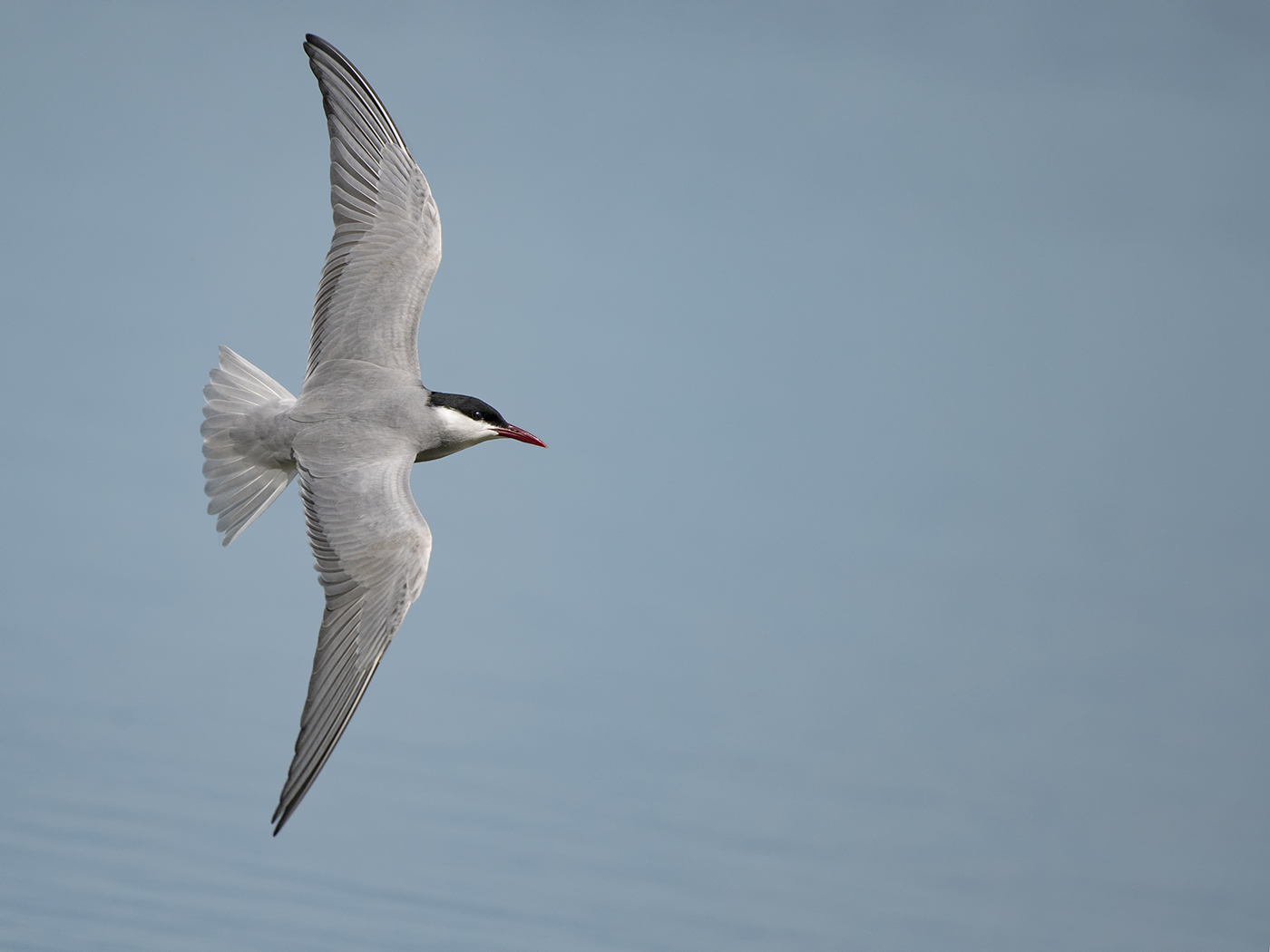 Whiskered Tern (Image ID 32125)
