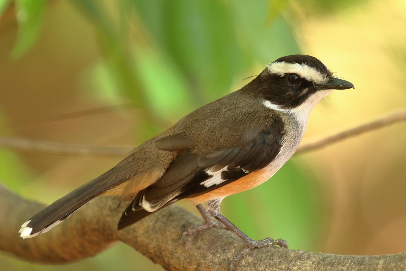 Buff-sided Robin (Image ID 32401)