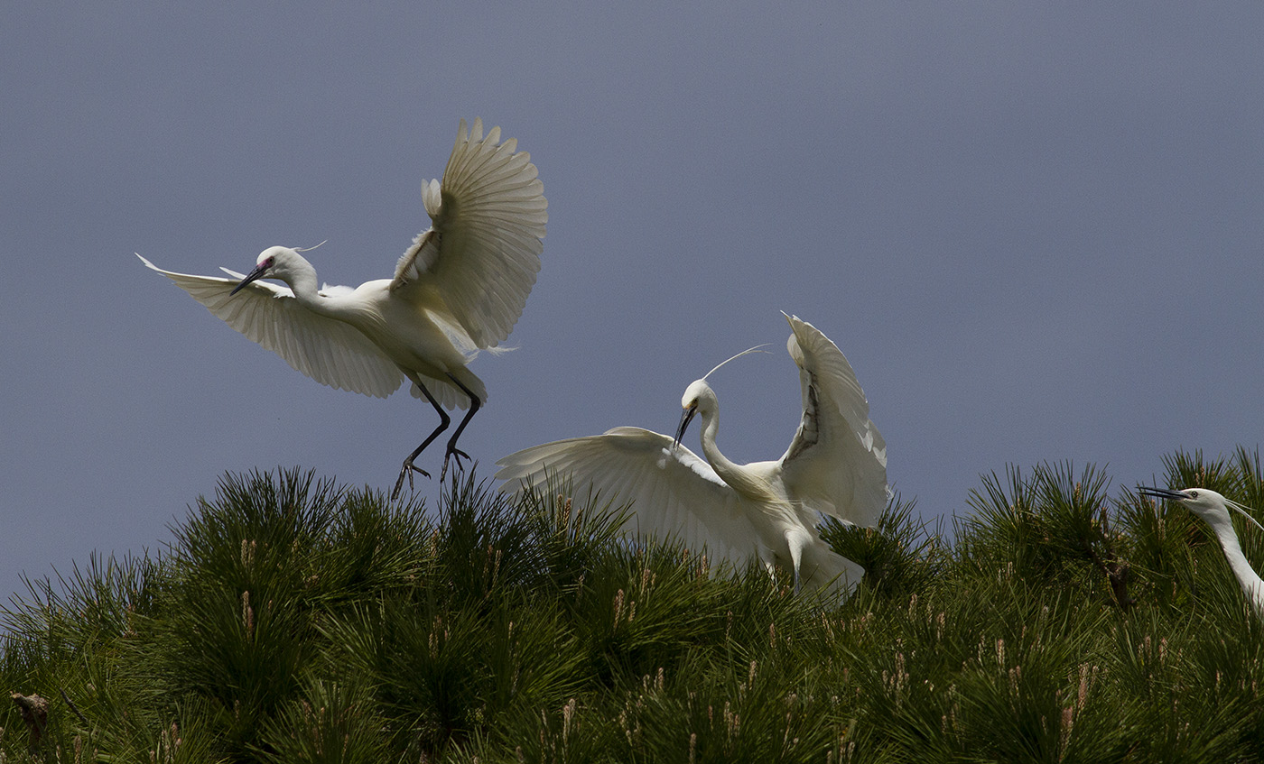 Little Egret (Image ID 32267)