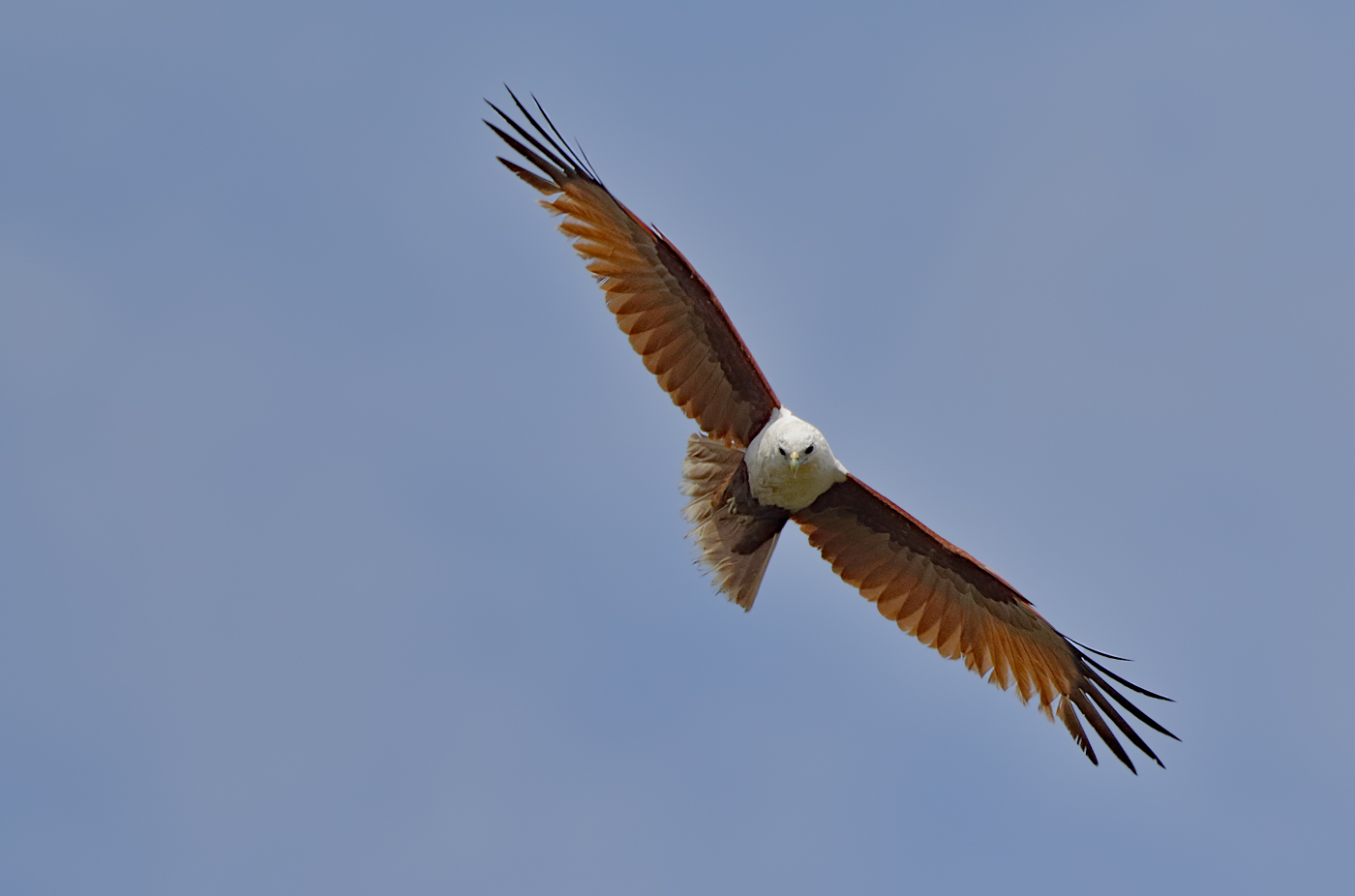 Brahminy Kite (Image ID 32441)