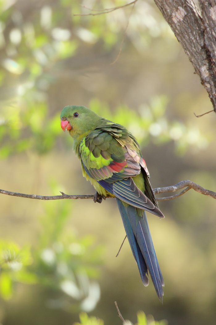 Regent Parrot (Image ID 32201)