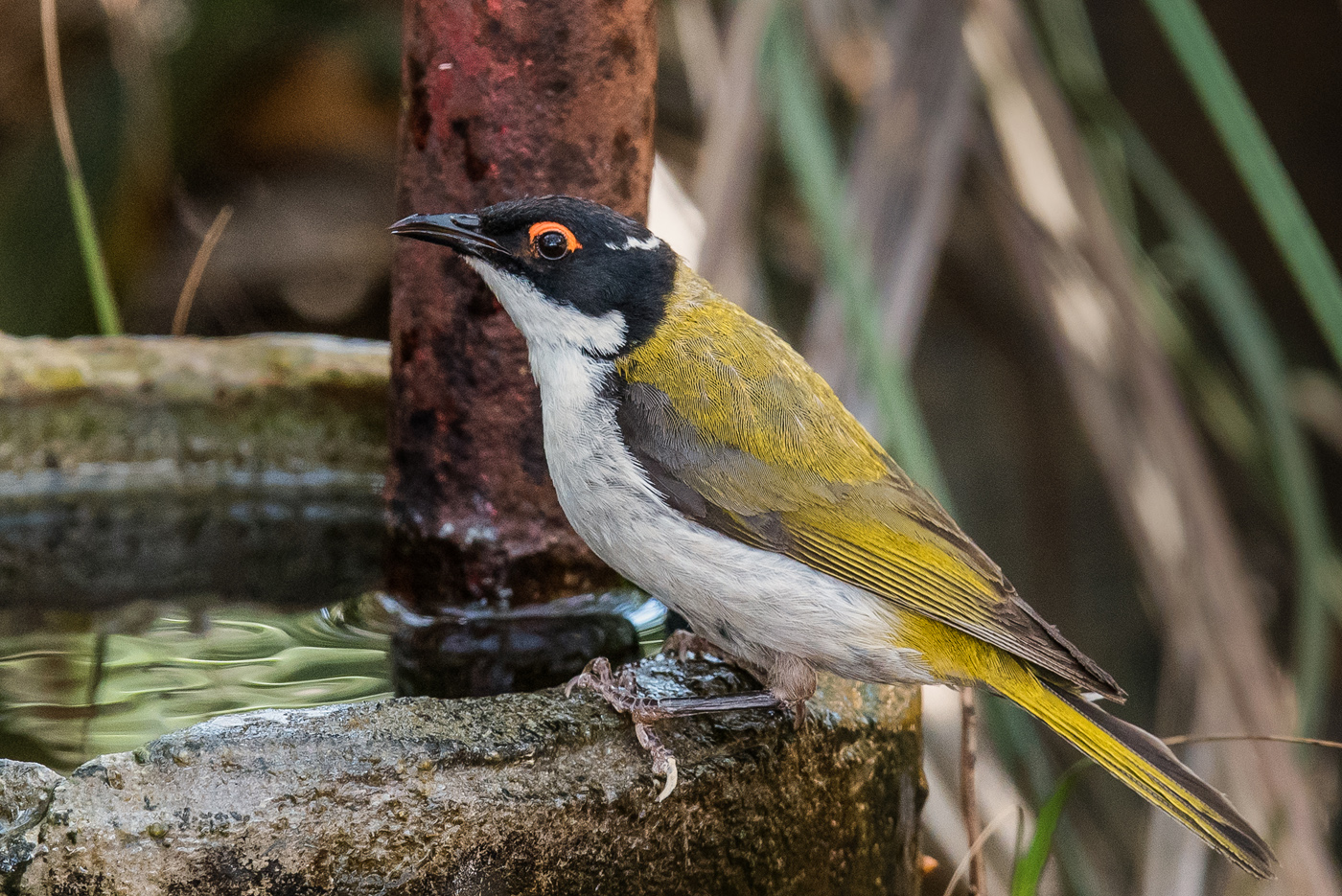 White-naped Honeyeater (Image ID 32296)