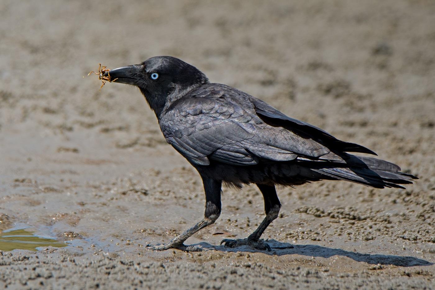 Australian Raven (Image ID 32324)