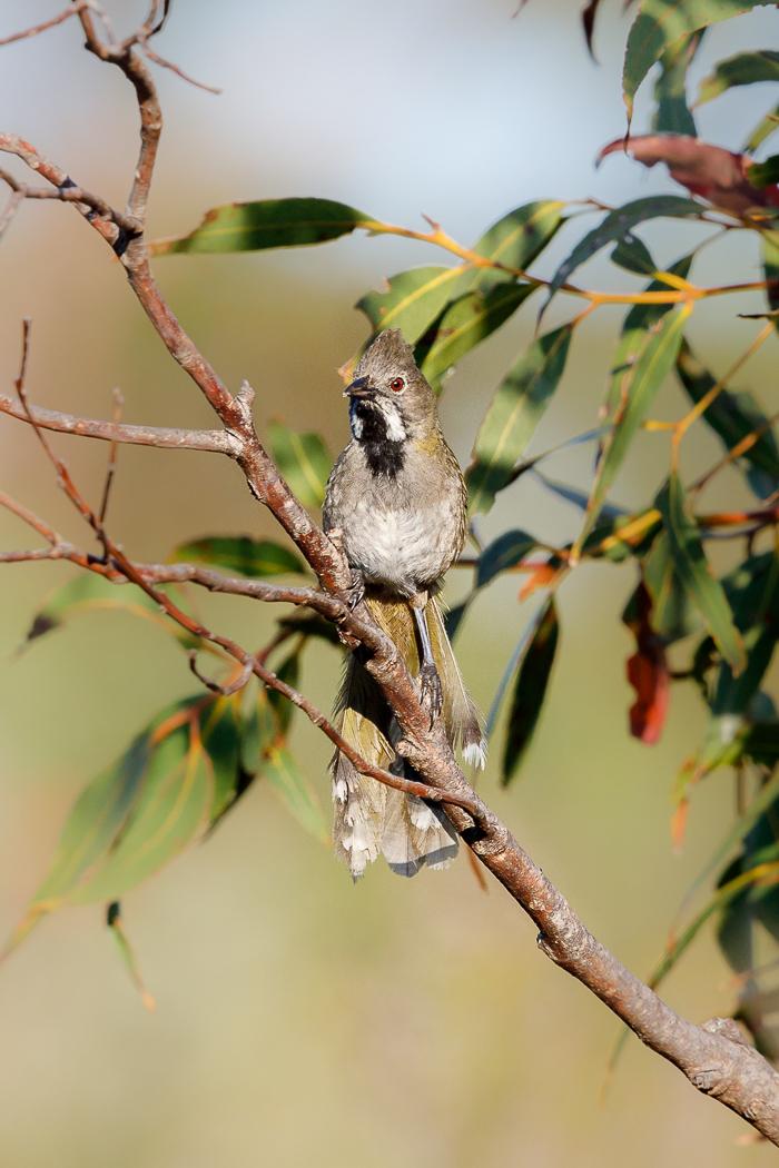 Western Whipbird (Image ID 32237)