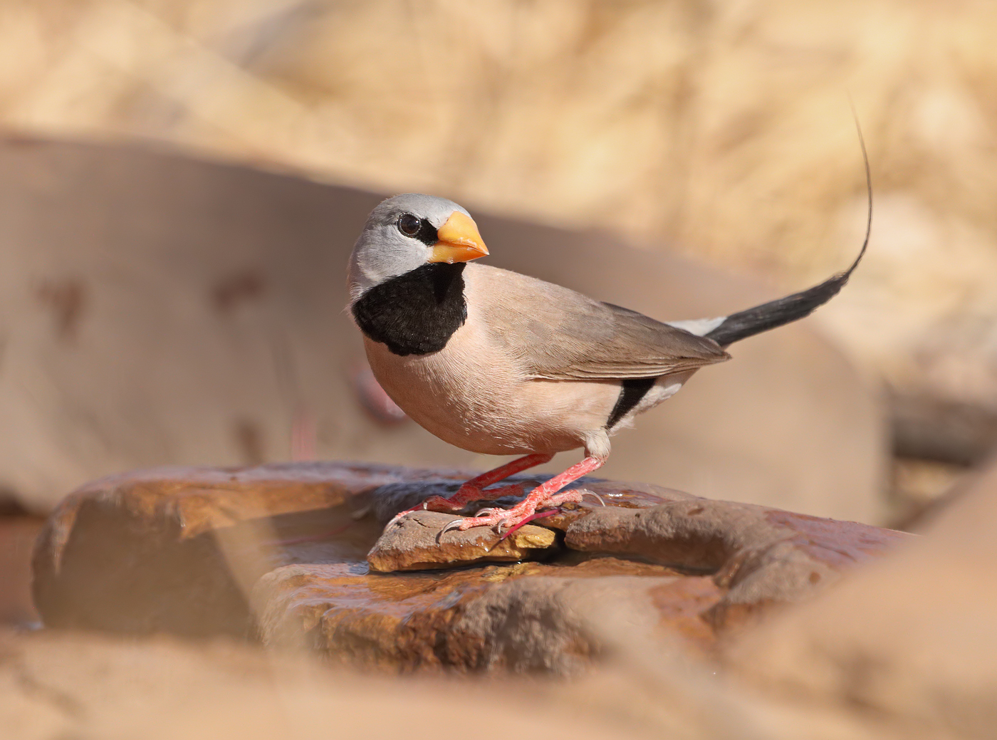 Long-tailed Finch (Image ID 32290)