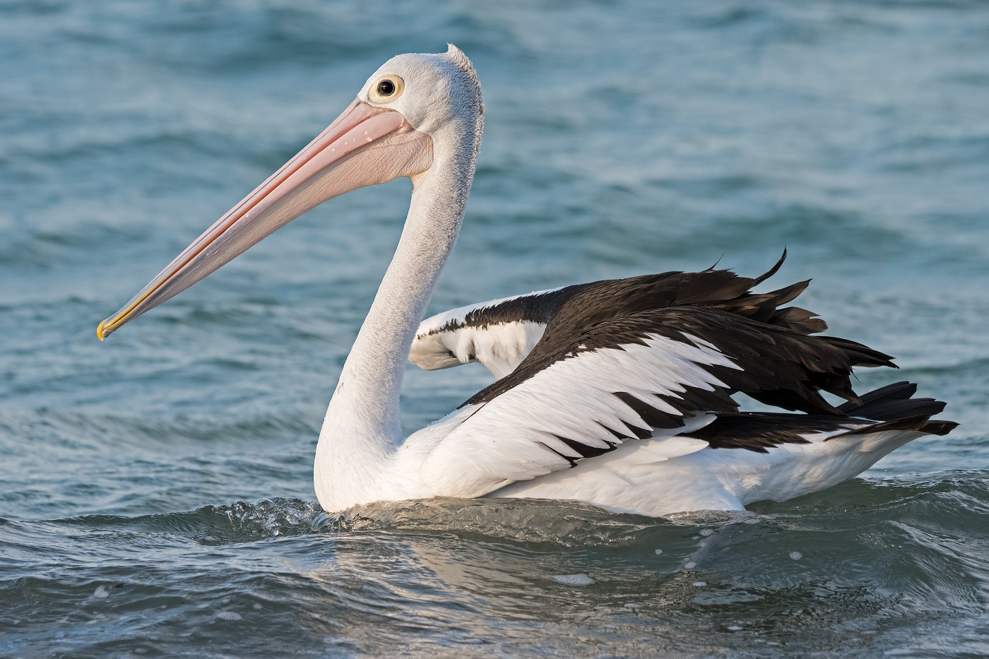 Australian Pelican (Image ID 32323)
