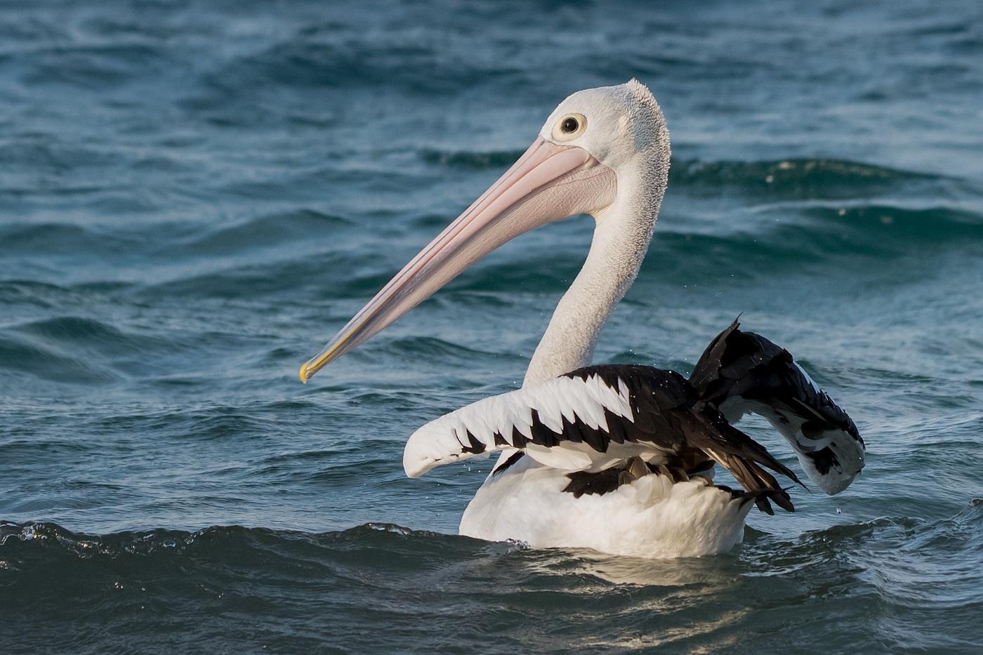 Australian Pelican (Image ID 32322)
