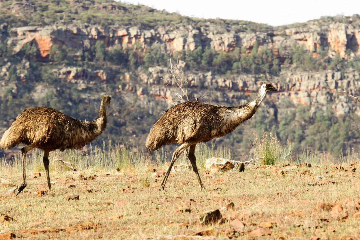 Emu (Image ID 32293)