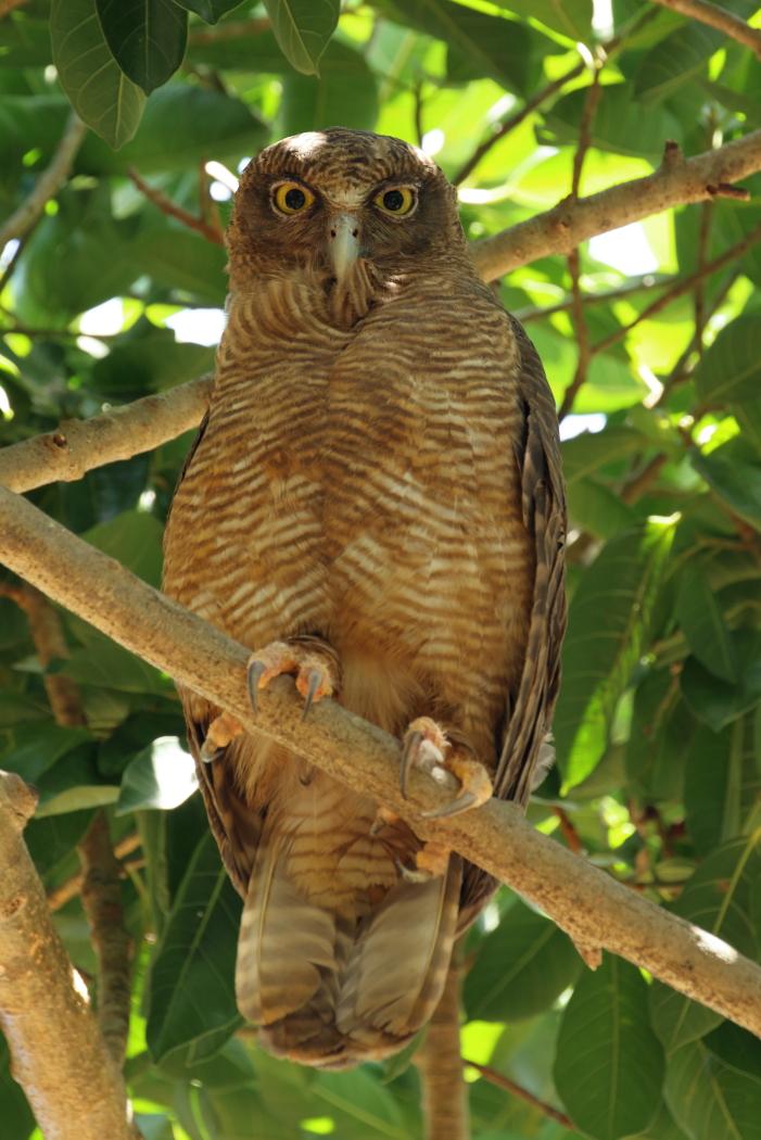 Rufous Owl (Image ID 32403)