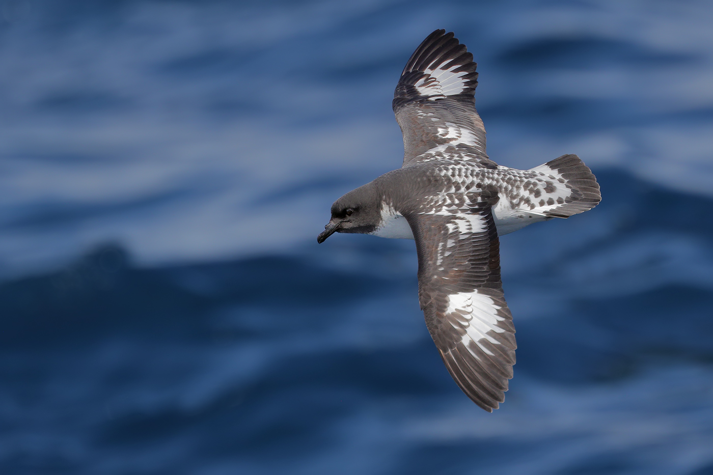 Cape Petrel (Image ID 32066)