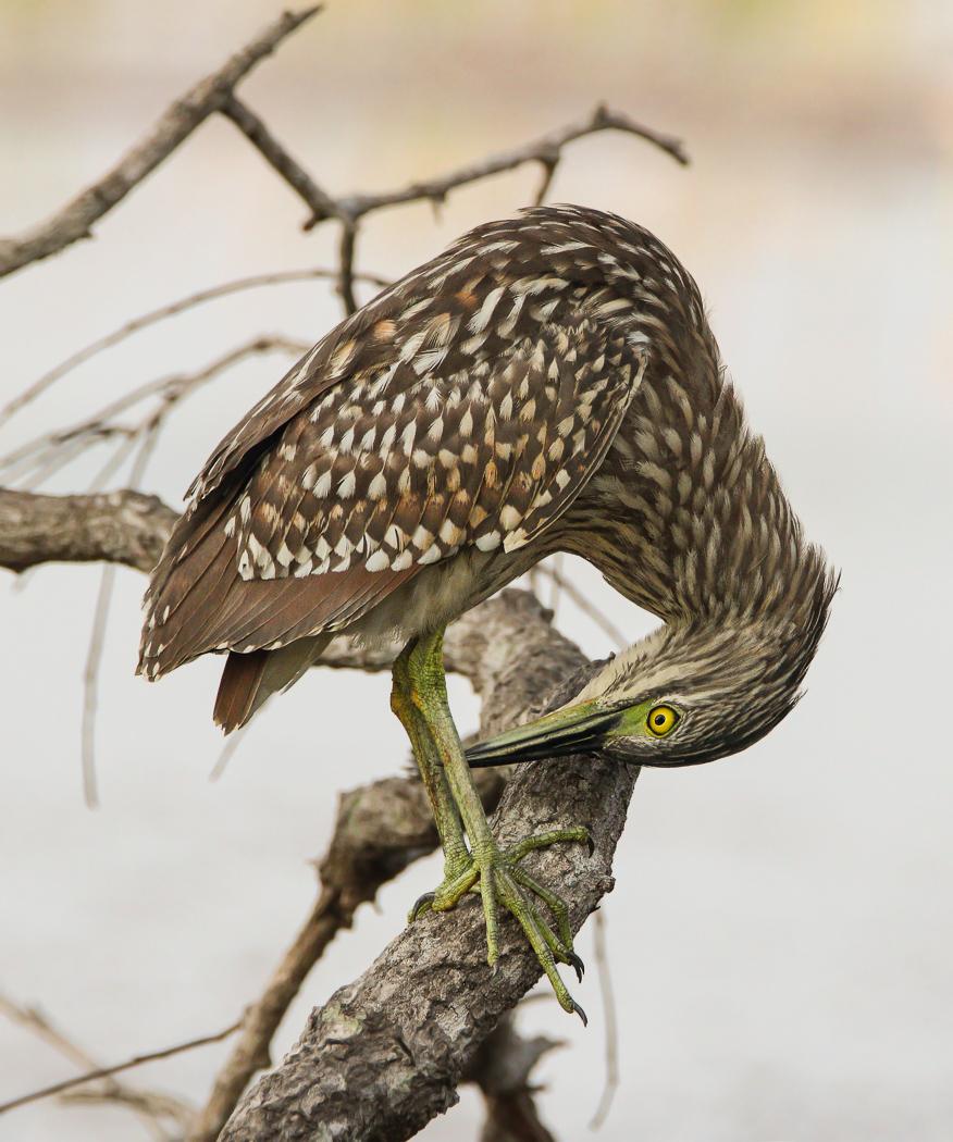 Nankeen Night-Heron (Image ID 32442)