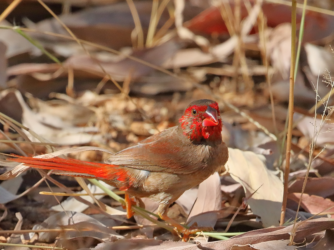 Crimson Finch (Image ID 32367)