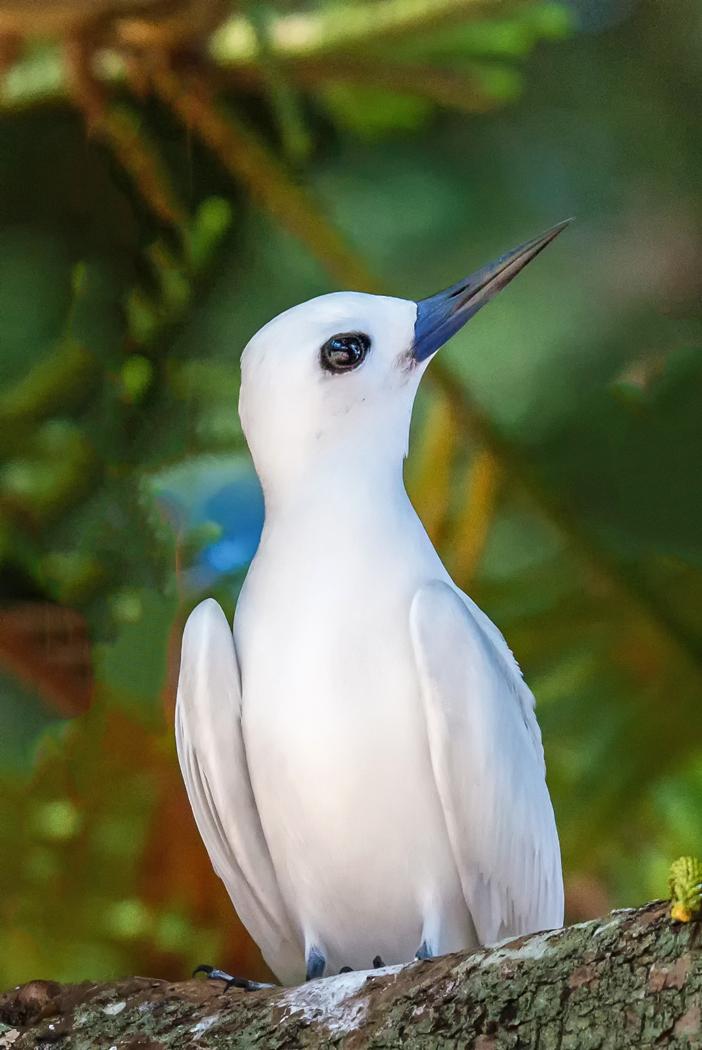 White Tern (Image ID 32298)
