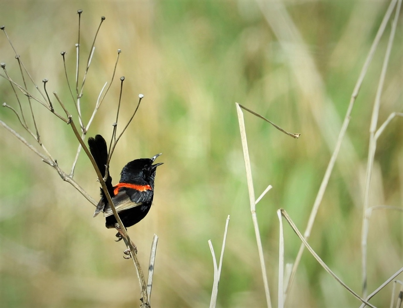 Red-backed Fairy-wren (Image ID 32193)