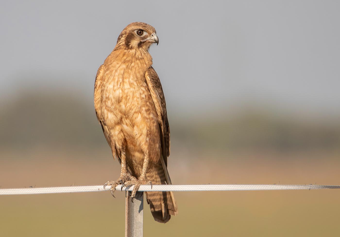 Brown Falcon (Image ID 32384)