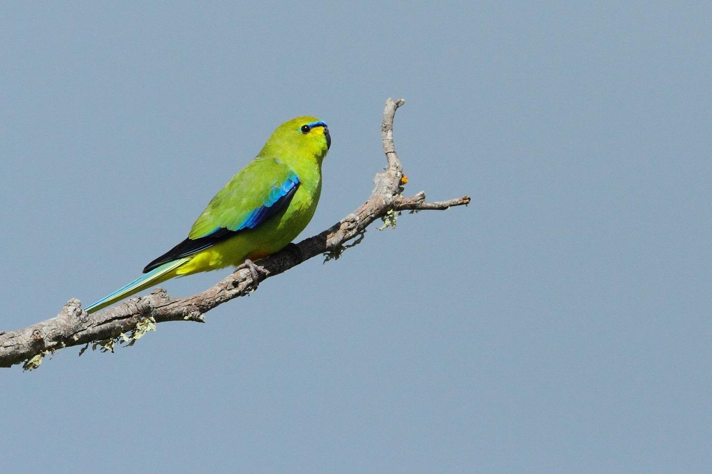 Elegant Parrot (Image ID 32057)