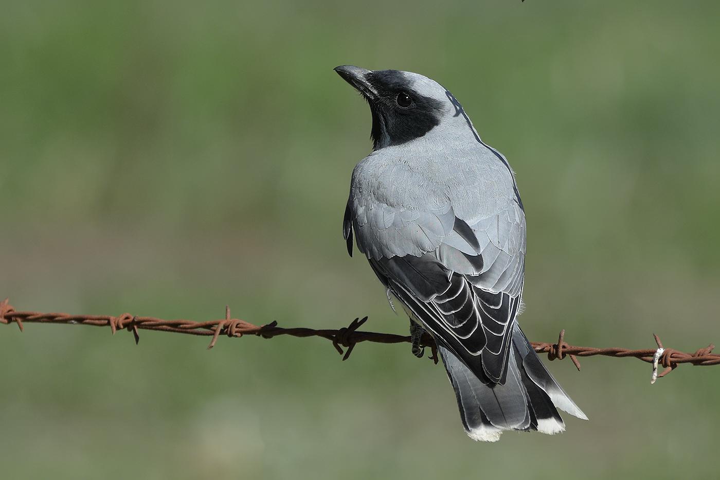 Black-faced Cuckoo-shrike (Image ID 32112)
