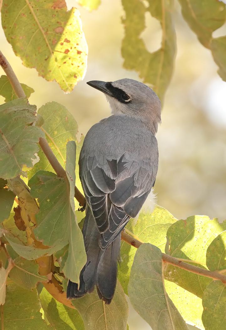 White-bellied Cuckoo-shrike (Image ID 32288)