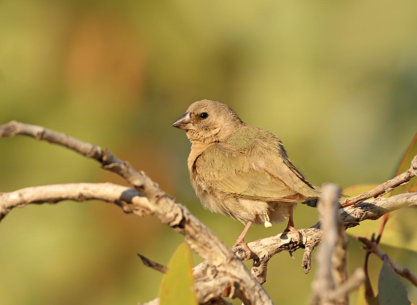 Gouldian Finch (Image ID 32357)