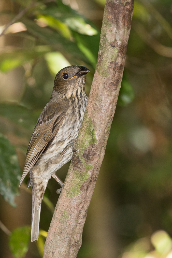 Tooth-billed Bowerbird (Image ID 32260)