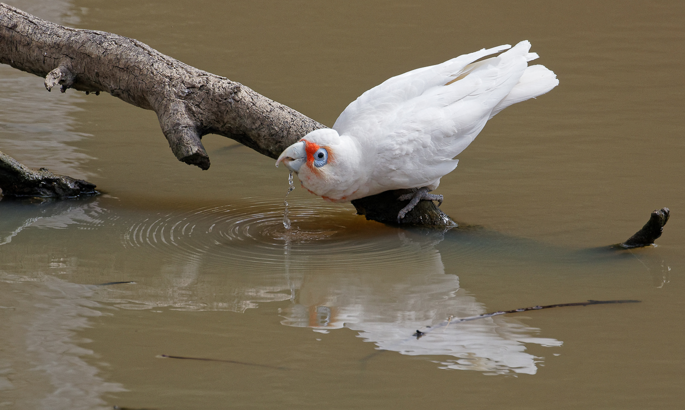 Long-billed Corella (Image ID 32406)