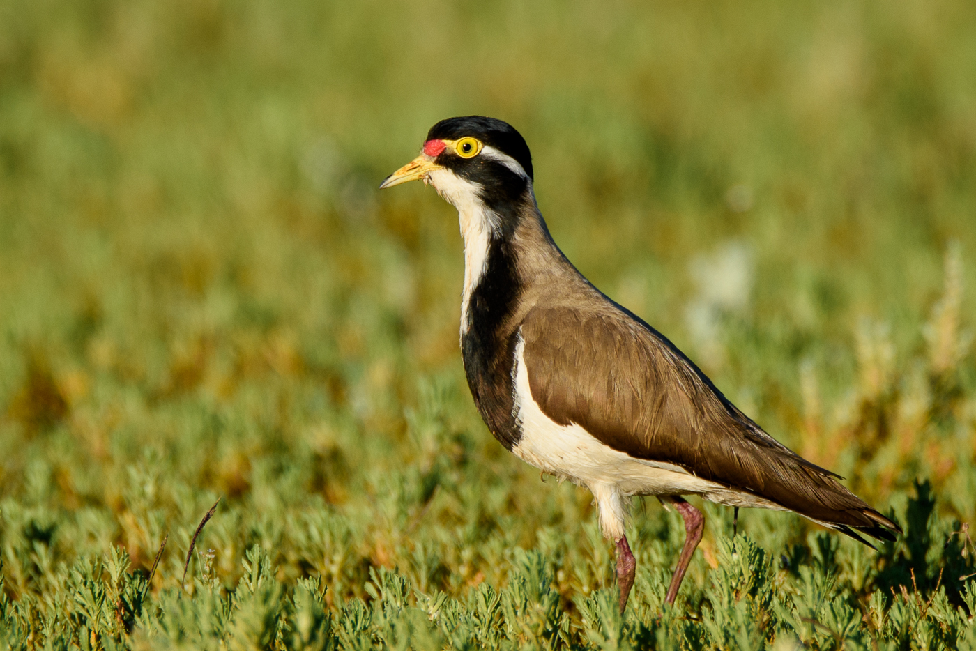 Banded Lapwing (Image ID 32092)