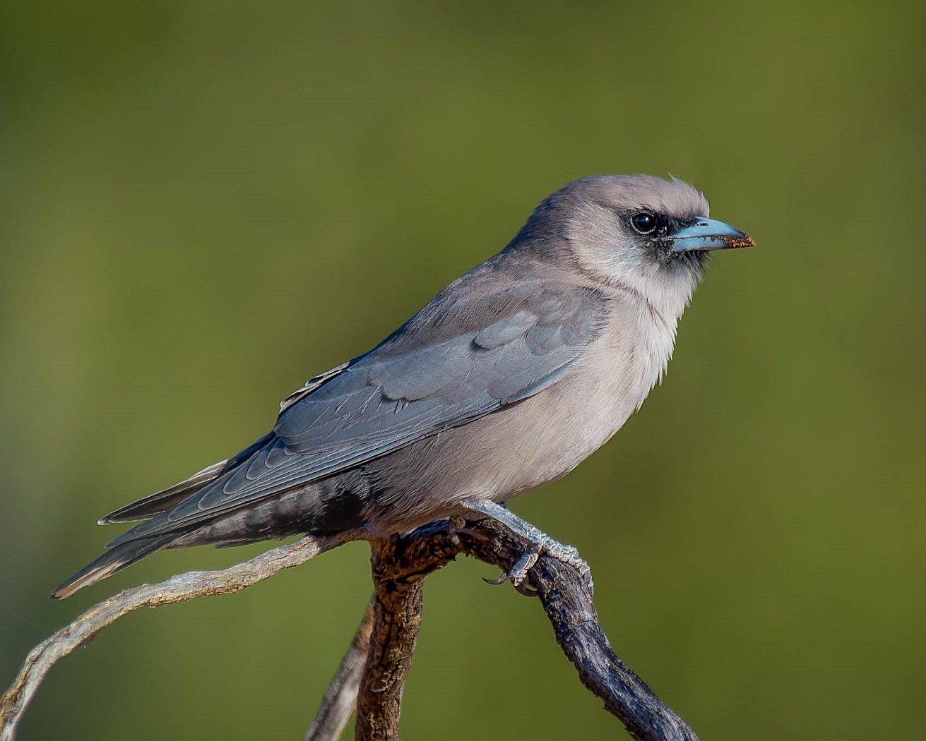 Black-faced Woodswallow (Image ID 32170)