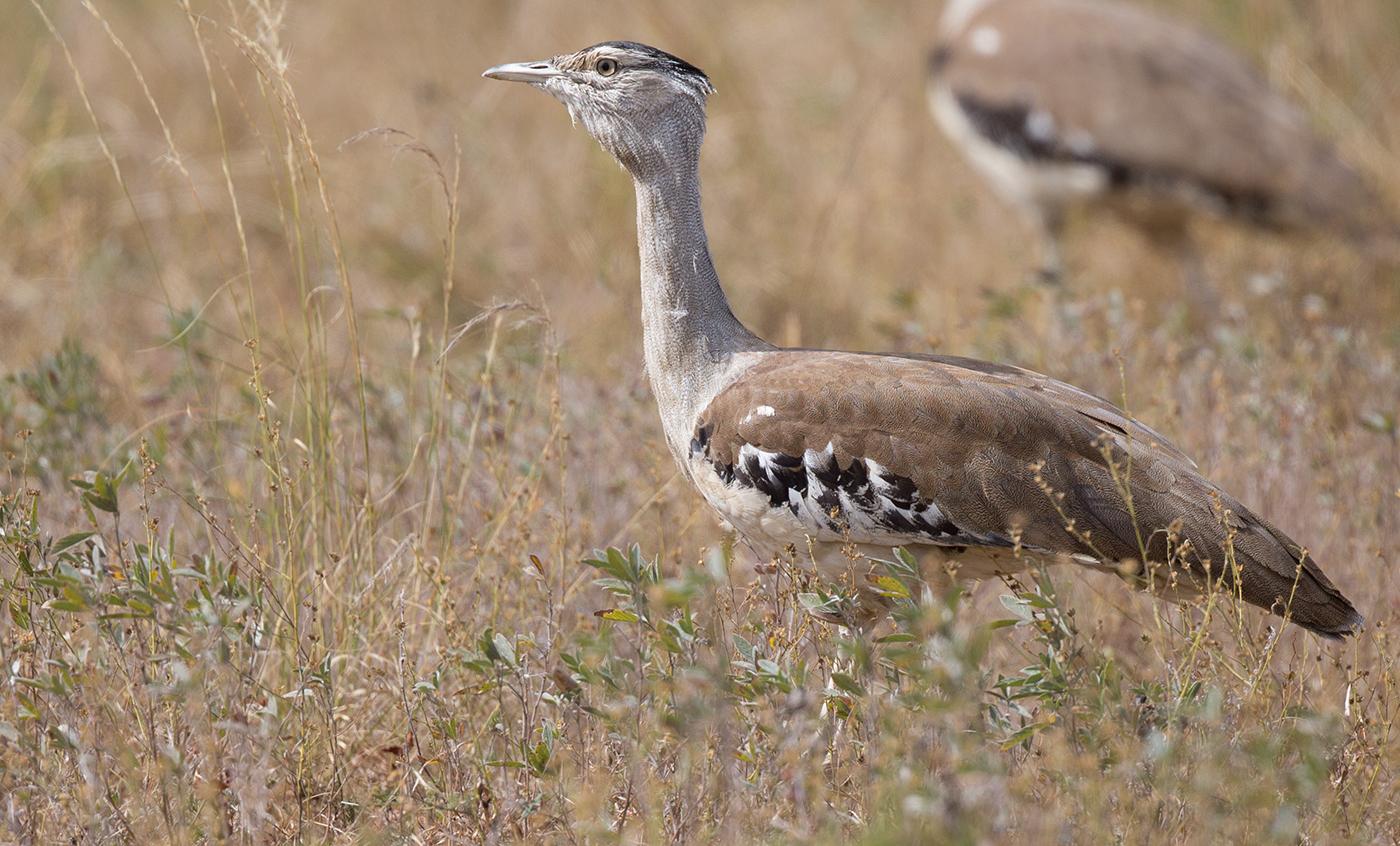 Australian Bustard (Image ID 32181)