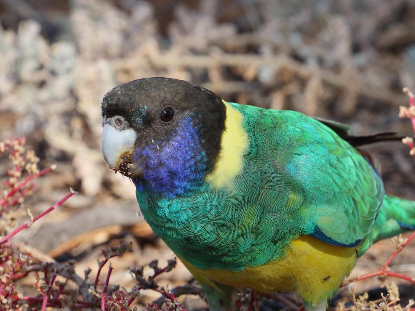 Australian Ringneck (Image ID 32320)