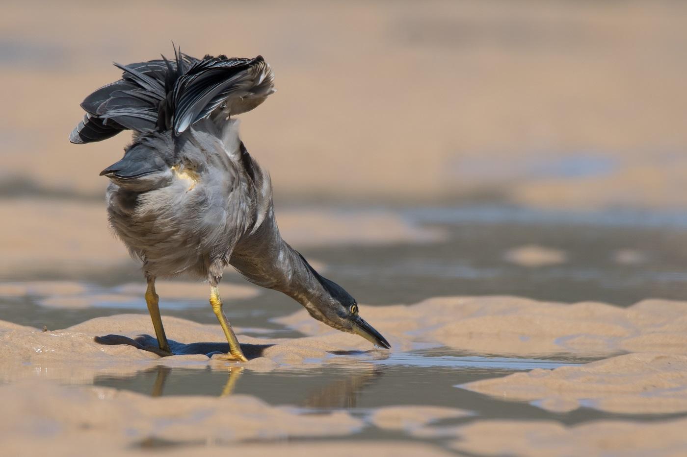 Striated Heron (Image ID 32306)