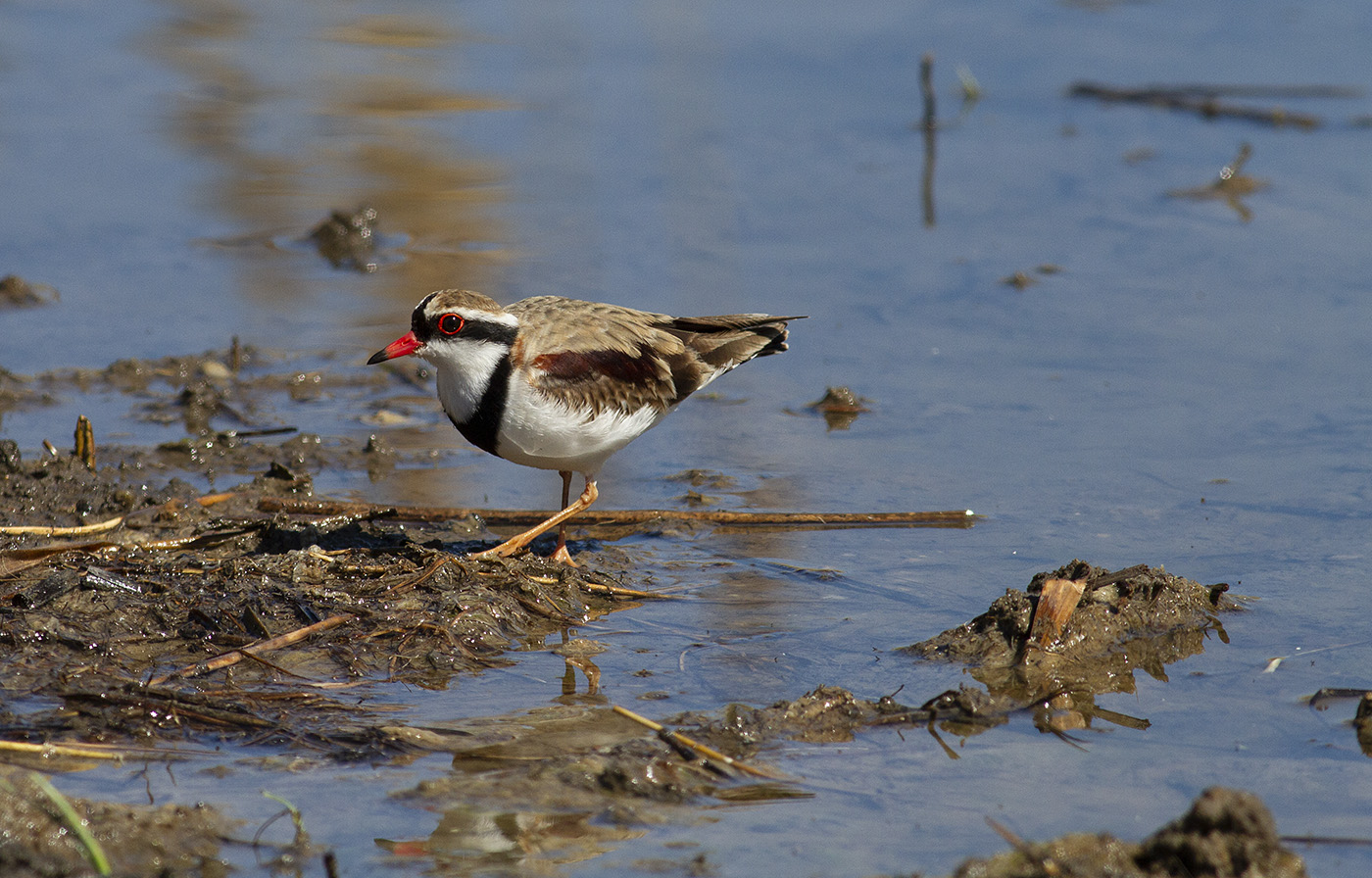 Black-fronted Dotterel (Image ID 32242)