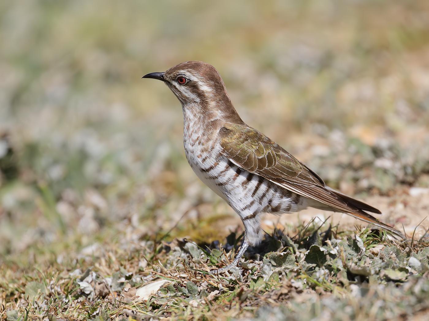Horsfield's Bronze-Cuckoo (Image ID 32172)
