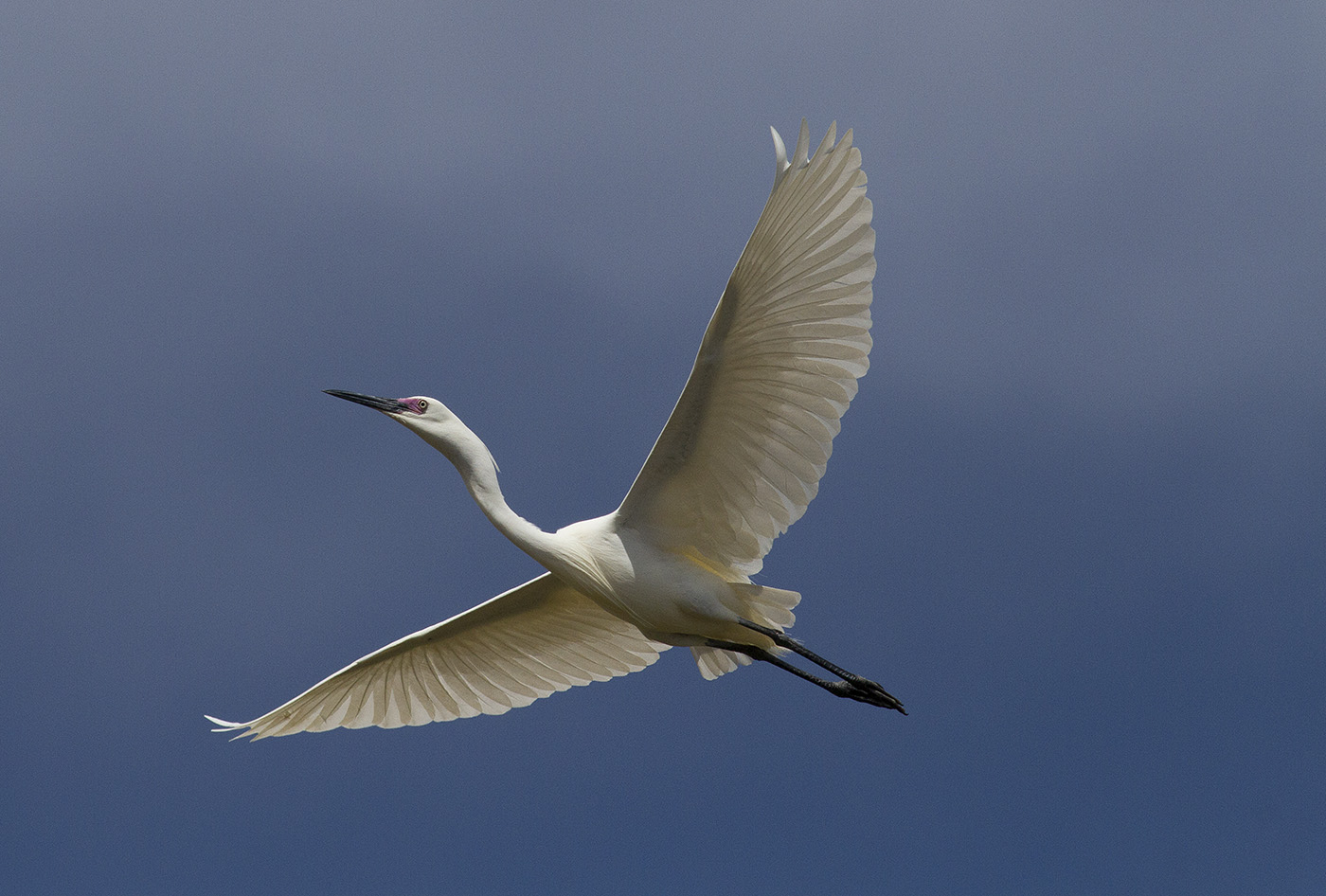 Little Egret (Image ID 32266)