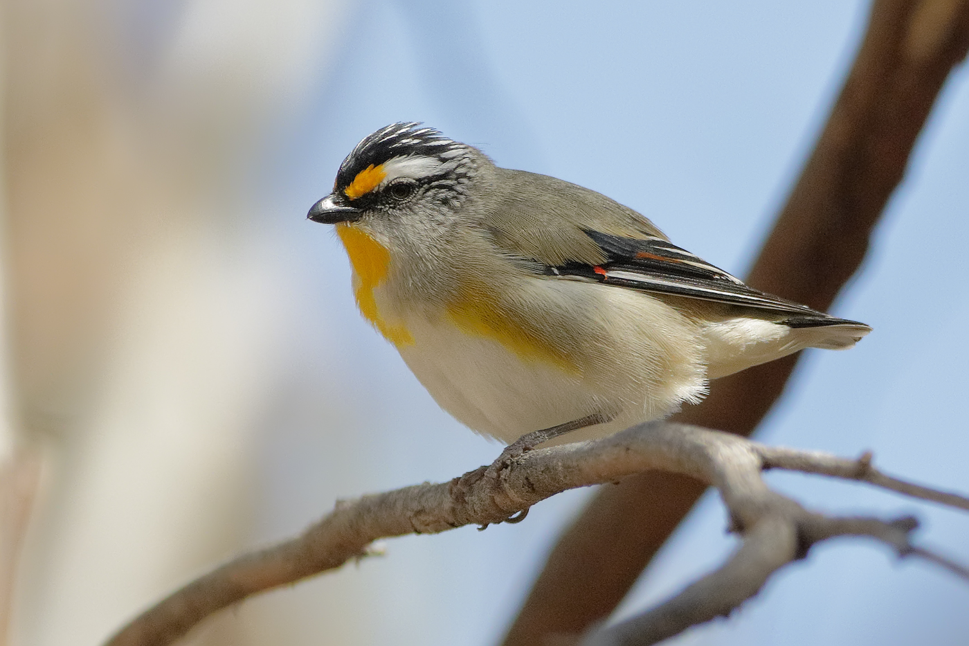 Striated Pardalote (Image ID 32130)