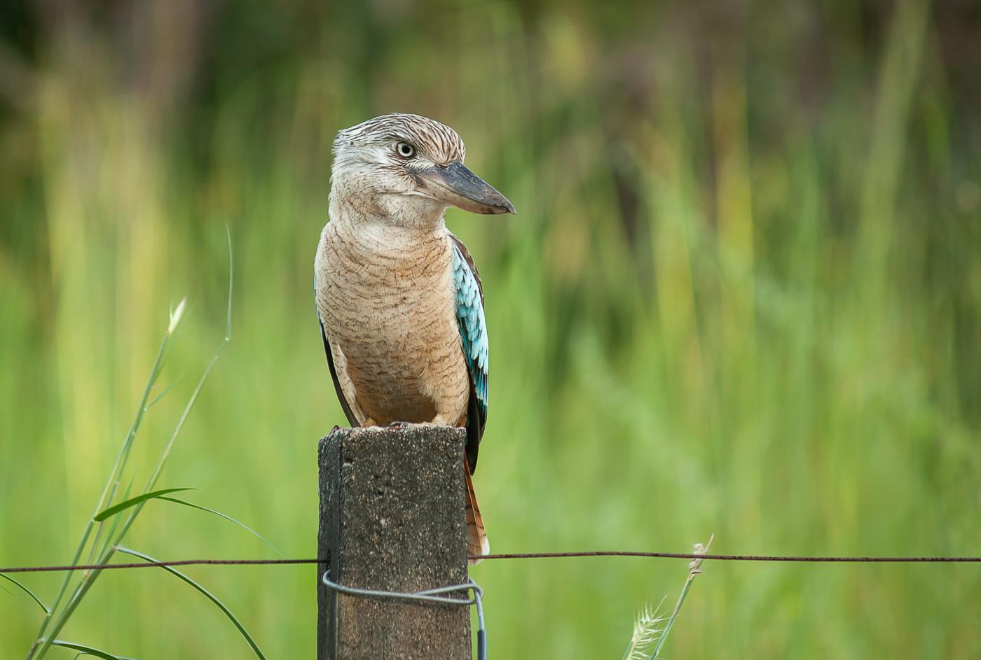 Blue-winged Kookaburra (Image ID 32346)