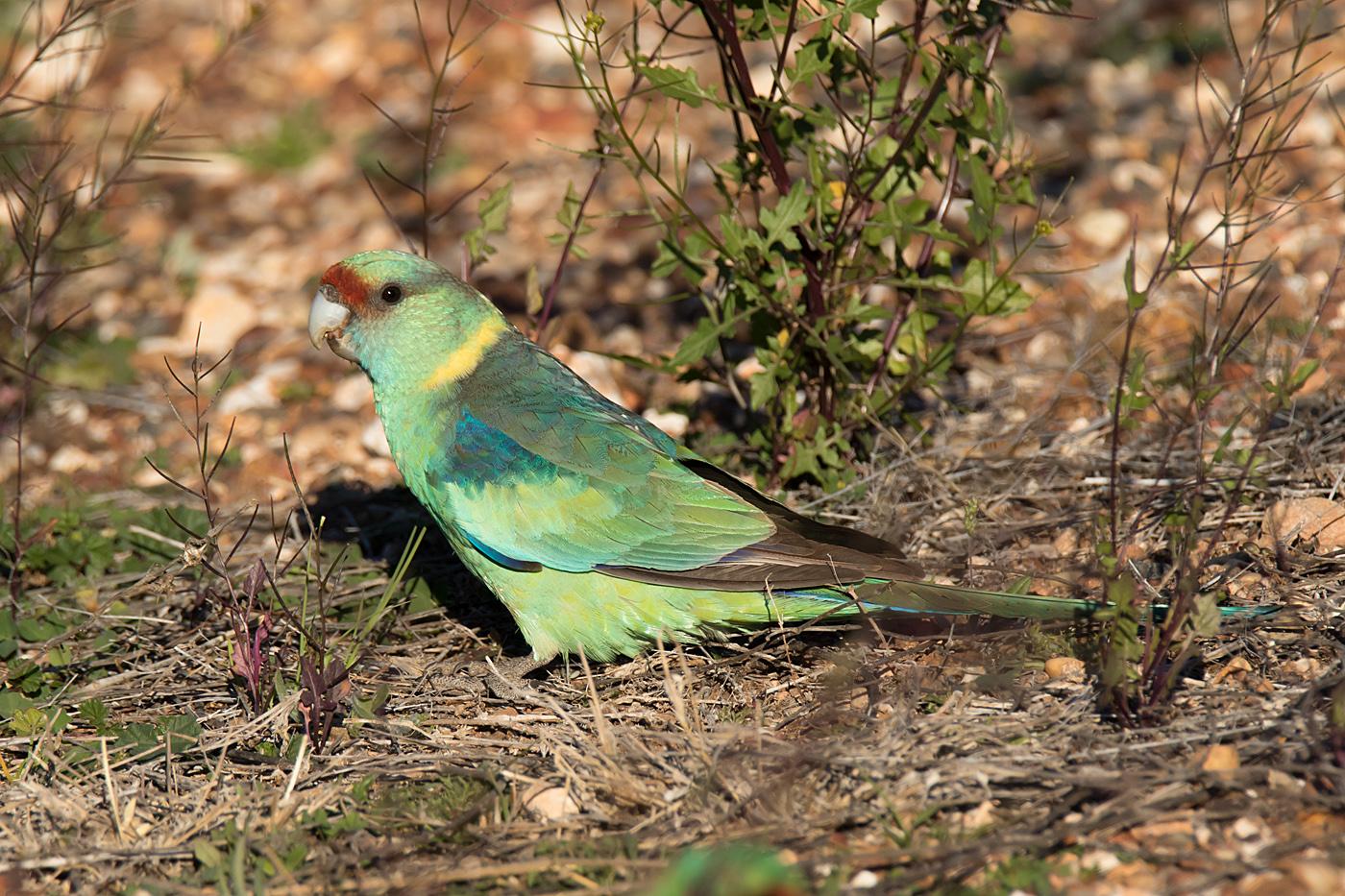 Australian Ringneck (Image ID 32133)