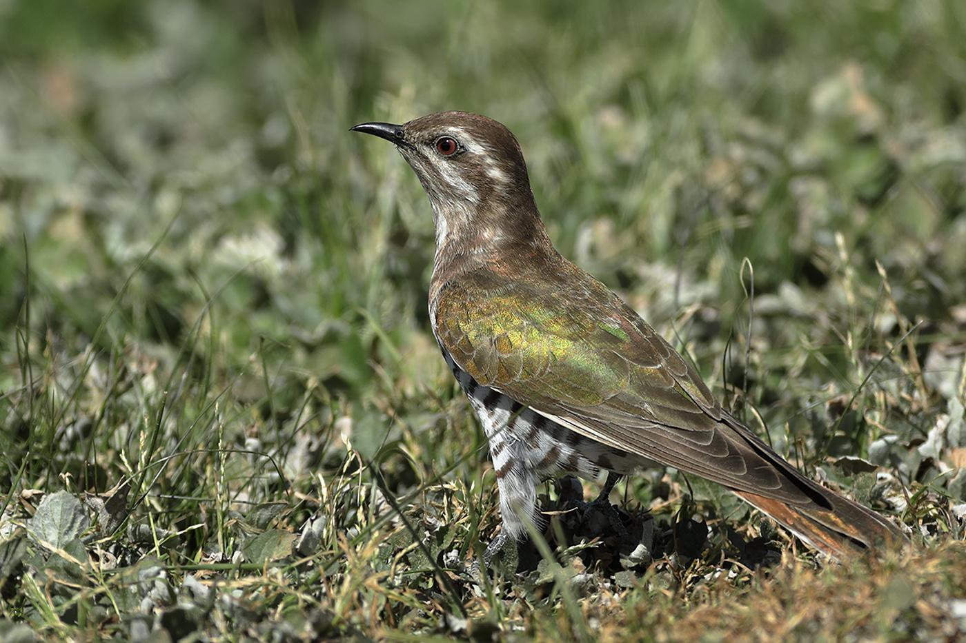 Horsfield's Bronze-Cuckoo (Image ID 32111)
