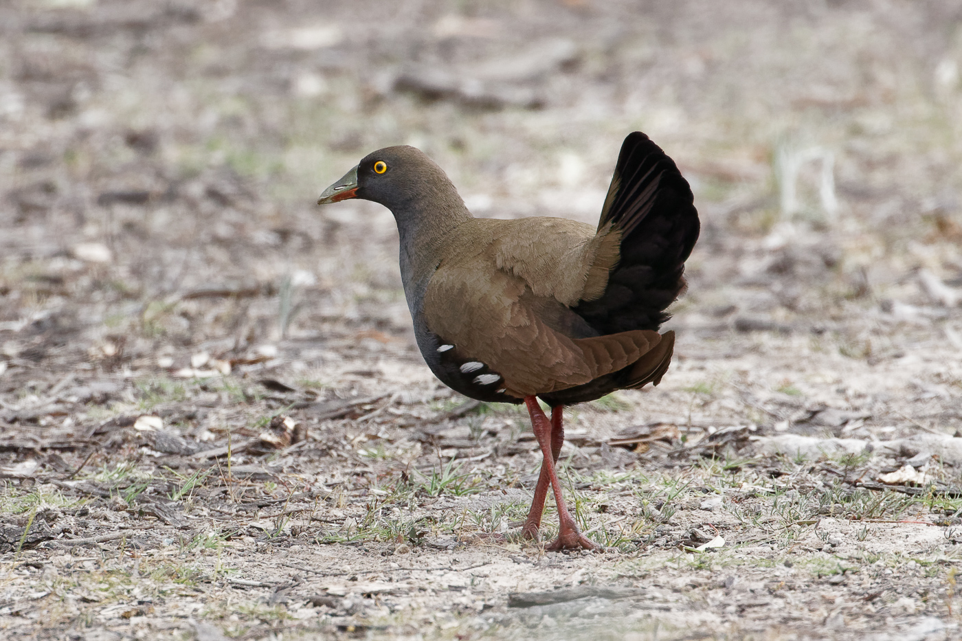 Black-tailed Native-hen (Image ID 32369)