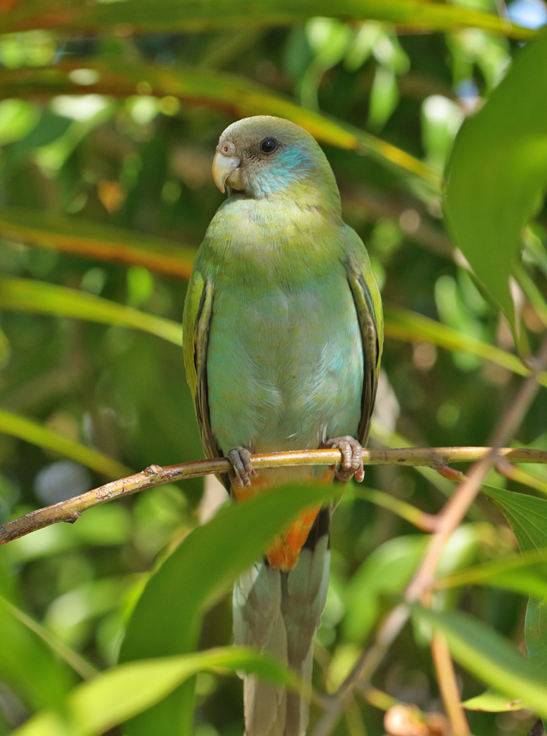 Hooded Parrot (Image ID 32229)