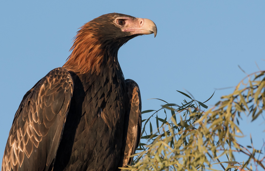 Wedge-tailed Eagle (Image ID 32199)