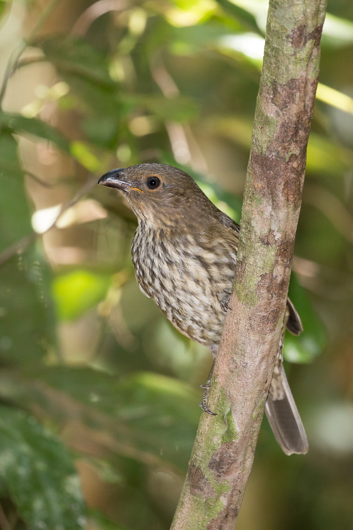 Tooth-billed Bowerbird (Image ID 32261)