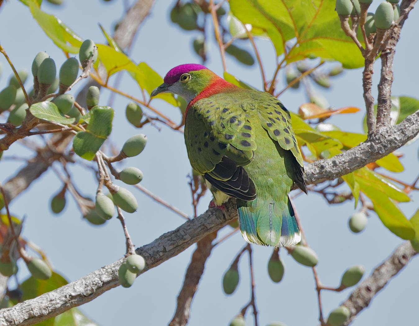 Superb Fruit-Dove