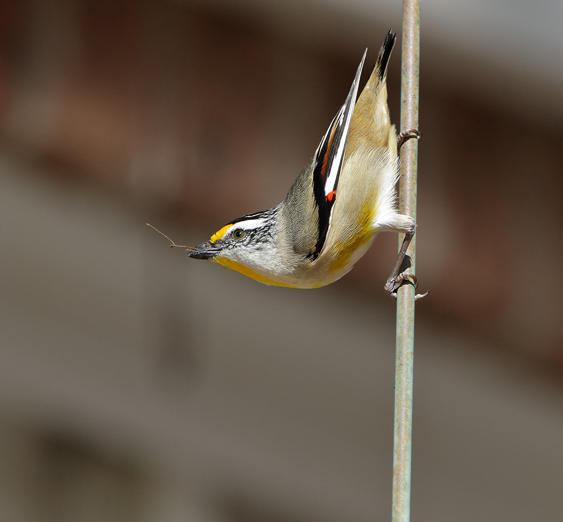 Striated Pardalote (Image ID 32060)