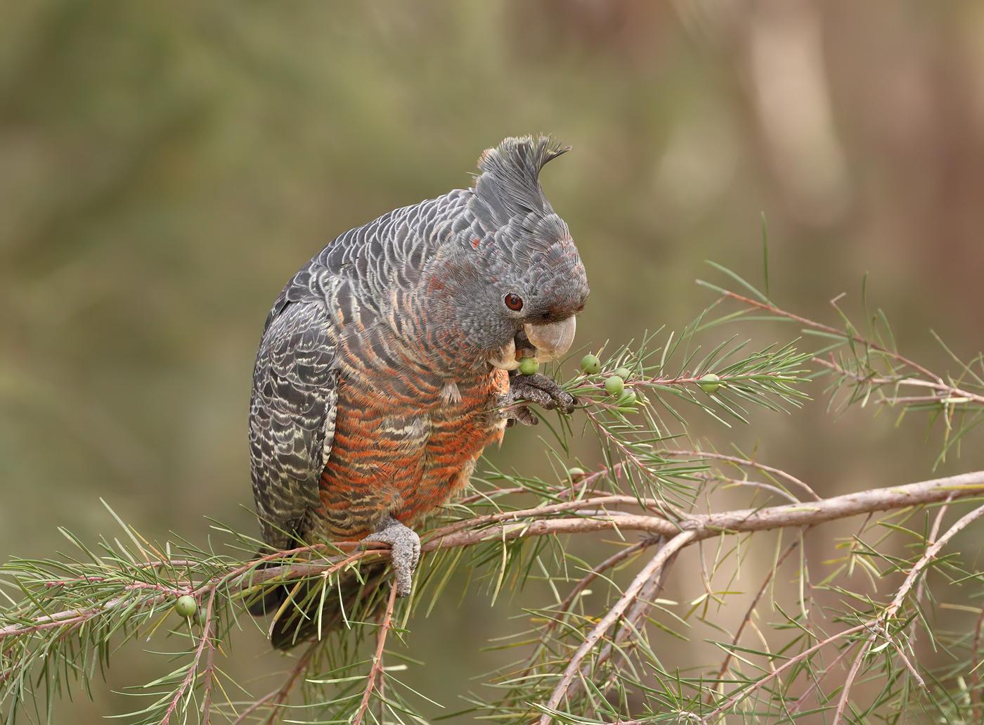 Gang-gang Cockatoo (Image ID 32102)