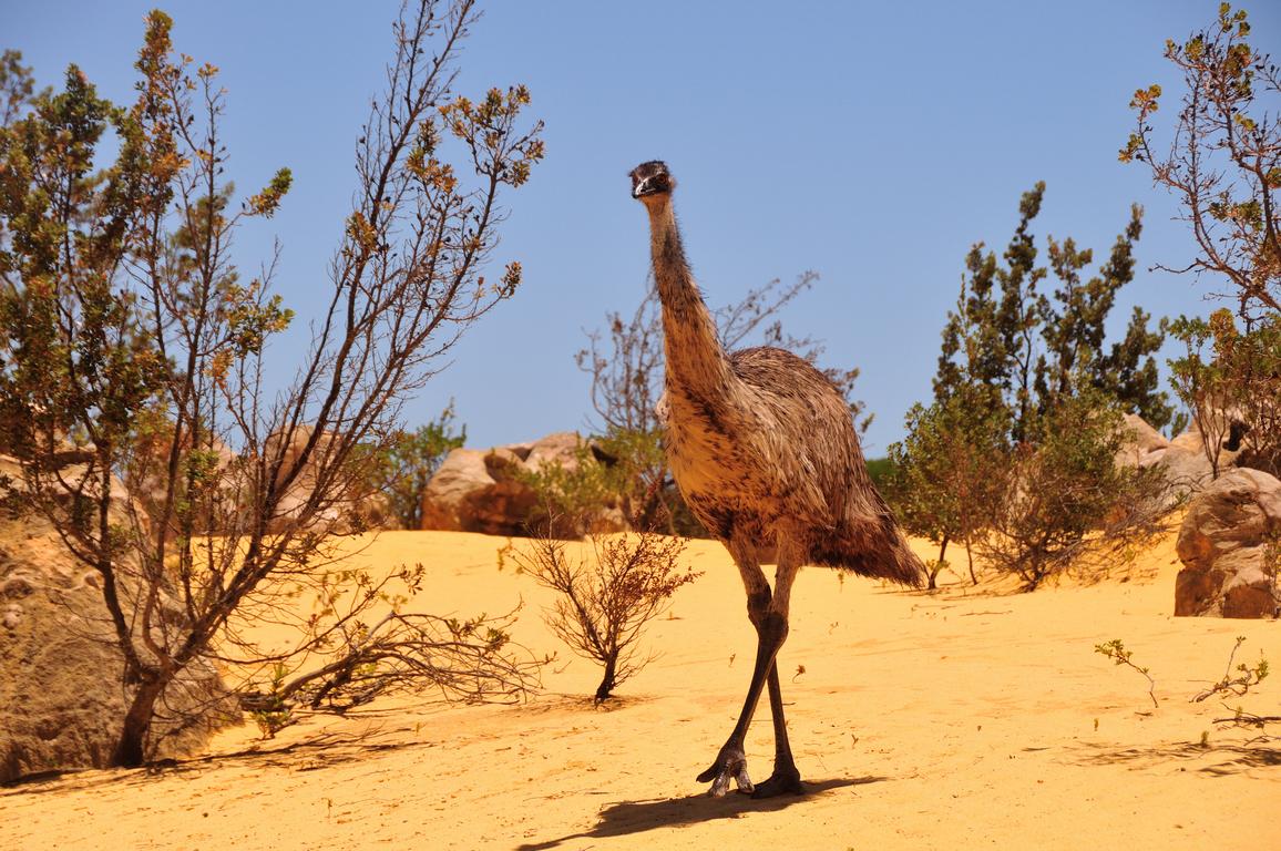Emu (Image ID 32352)