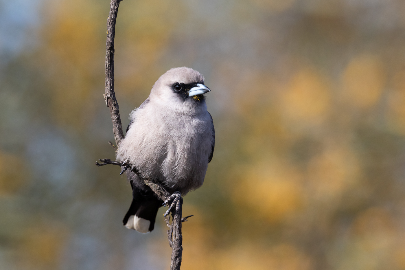 Black-faced Woodswallow (Image ID 32068)