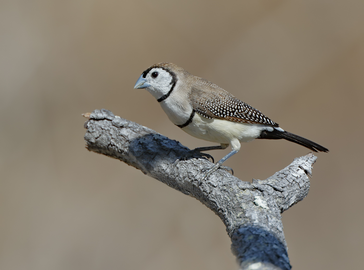 Double-barred Finch (Image ID 32438)