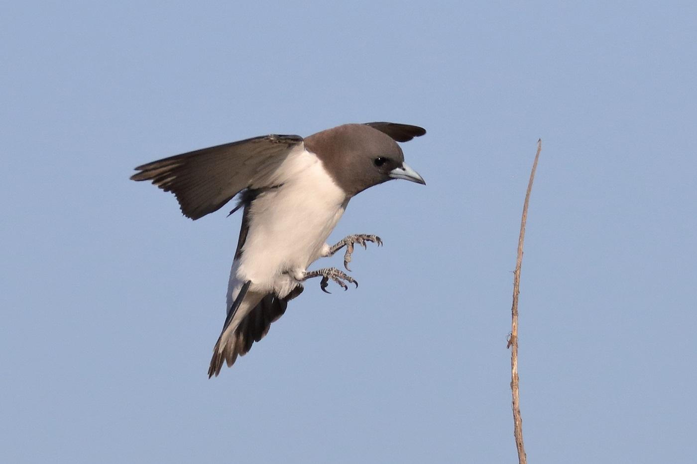 White-breasted Woodswallow (Image ID 32077)